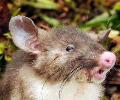 New species of hog-nosed rat boasts extra-long pubic hair