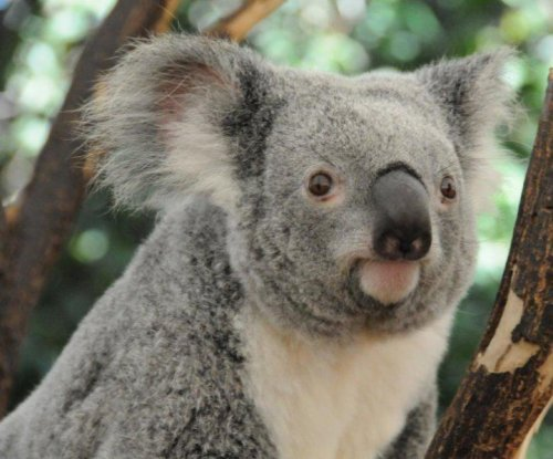 Cars and chlamydia behind rise in Queensland koala deaths