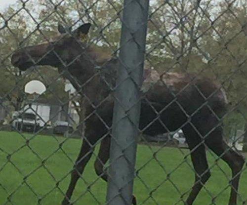 Moose wanders onto elementary school playground