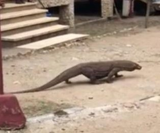 Komodo dragon takes casual stroll through village