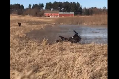Bison running across frozen pond wipes out spectacularly