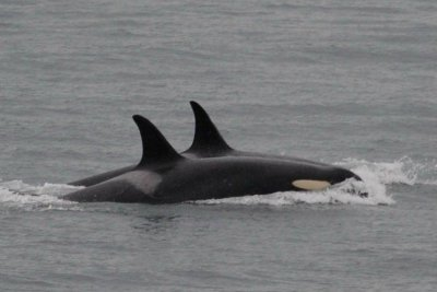 Grieving orca mother releases dead calf after 17 days