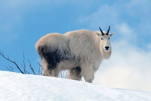 Mountain goats in Glacier National Park running out of A/C