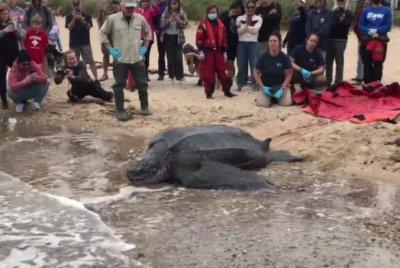 600-pound leatherback turtle rescued from Massachusetts mudflat