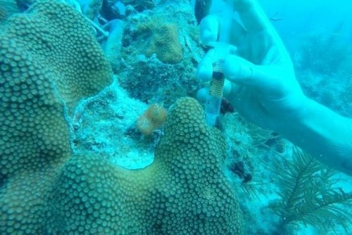 Land-based microbes, fungi are invading coral reefs