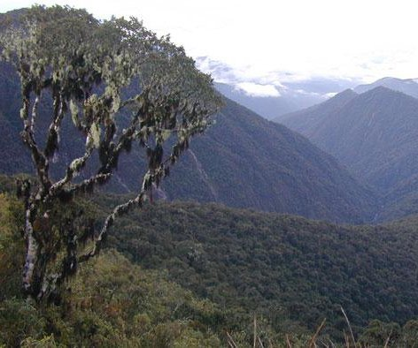 Researchers discover new tree genus in the Andes