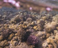 Red Sea corals to persist, even as other corals succumb to global warming