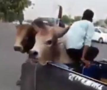Bull gets lodged in vehicle during mid-road fight