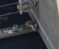 Fox rescued from storm tank at sewage treatment plant