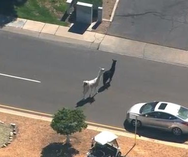 Llamas went on the run and the internet went crazy