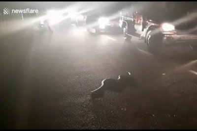 Man helps venomous cobra cross busy road