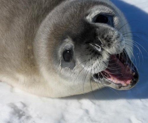 Researchers ask public to help them count Weddell seals