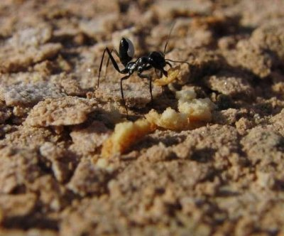 Risk aversion helps ants avoid obstacles, predators