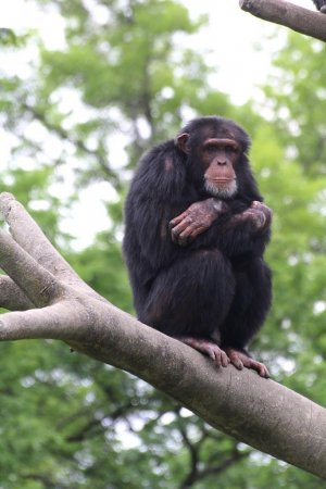 Chimps raised by humans have lifelong behavioral problems