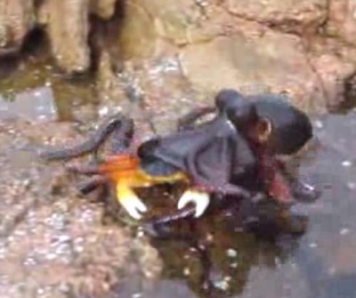 Crab snatched by octopus in dry land sneak attack
