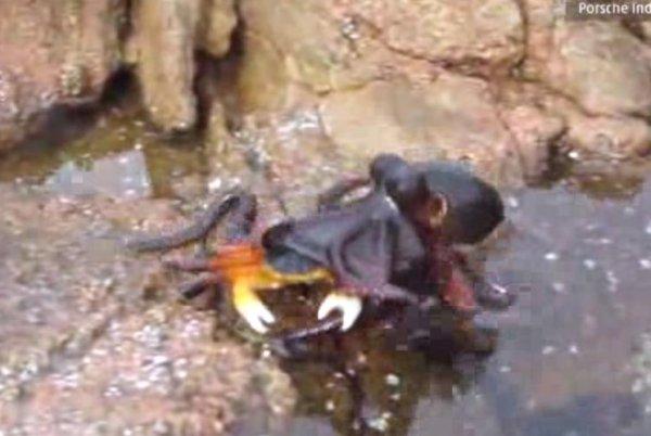 Octopus attacking a crab in Santa Maria beach