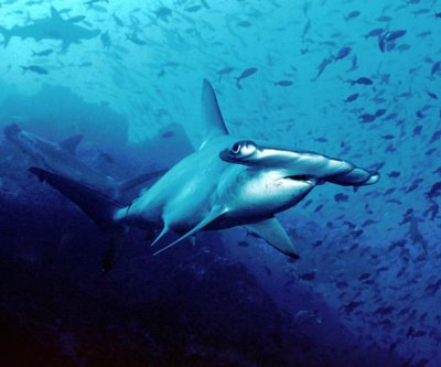 California beach reopened after 'aggressive' hammerhead shark spotted