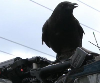 Crow steals knife from crime scene in Canada