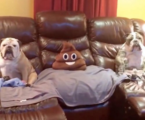 Pair of bulldogs sit upright on couch to watch TV