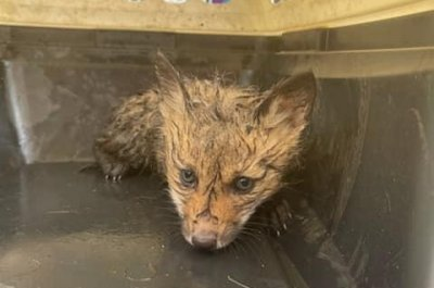 Baby foxes rescued from storm drain in Massachusetts
