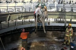 Firefighters use crane to hoist cow trapped in milking platform