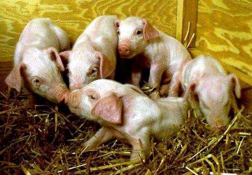 EU move on cloned food shunned