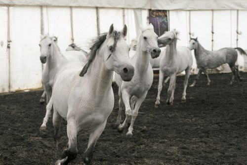 U.S. horse slaughter for meat may resume