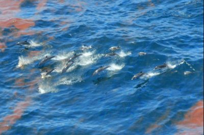 New study blames oil spill for dolphin deaths in Gulf