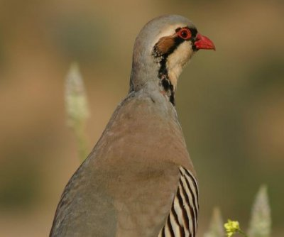 Middle Eastern game bird spotted wandering loose in Alberta