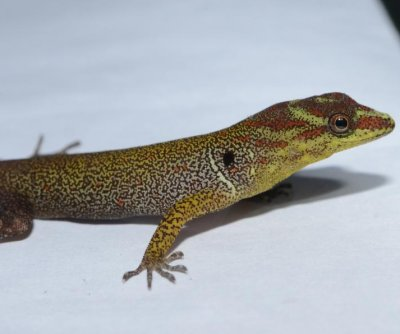 Gecko evolution proof small changes yield big results