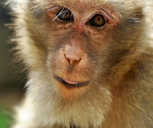 Zika attacks placentas of pregnant monkeys, study finds
