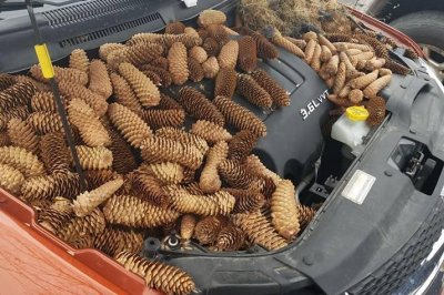 Squirrels fill car's engine compartment with pine cones