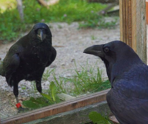 Negative emotional contagion can spread among lab ravens