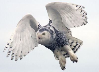 Snowy owls targeted as hazards at New York airports