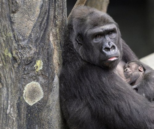 Colo, first gorilla born in a zoo, celebrates 58th birthday