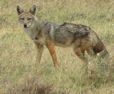 East Africa's 'golden jackals' are actually 'golden wolves'