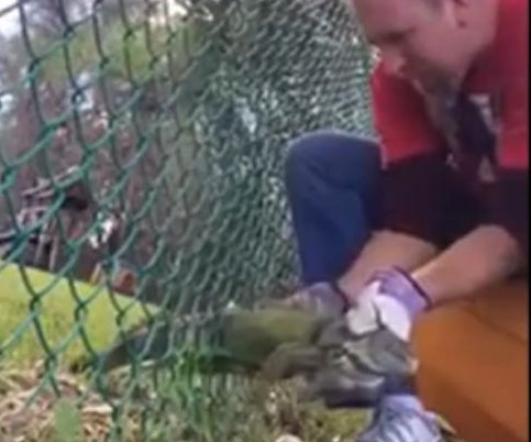 Florida man frees iguana trapped in chain-link fence