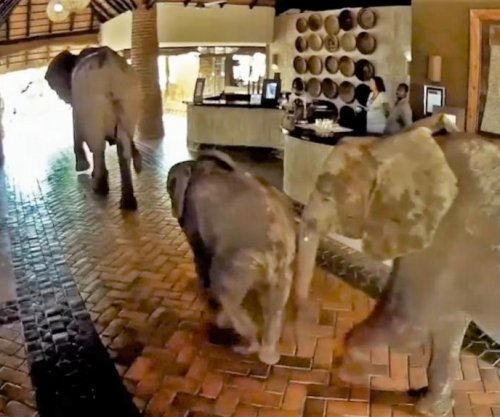 Elephants parade through Zambia lodge to reach mango tree