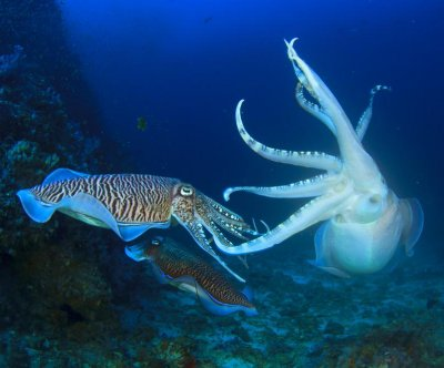 Cuttlefish don't play emotional games; they're straight-shooters