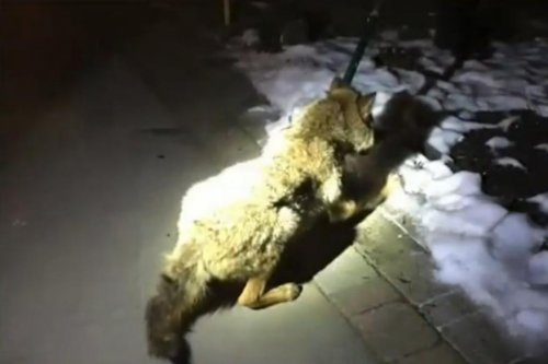 Michigan couple wake to coyotes crashing through window