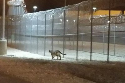 Prison security camera catches cougar doing 'perimeter patrol'