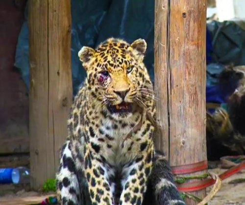 Wounded leopard wanders into Chinese village