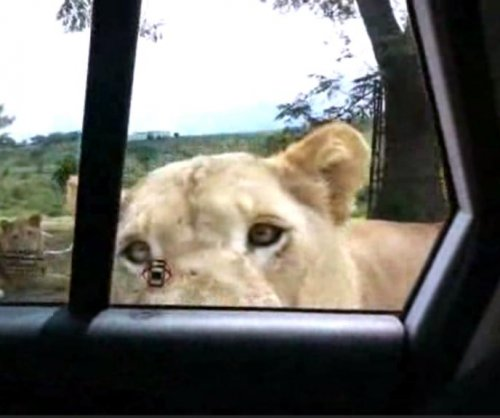 Lion opens car door at South African safari park