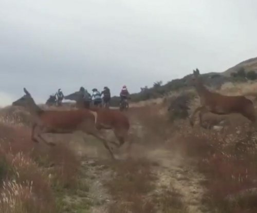 Racing cyclists nearly 'steamrolled' by massive herd of deer