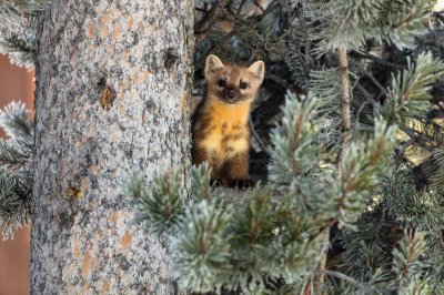 Pine martens prefer neighbors, but only if they keep their distance
