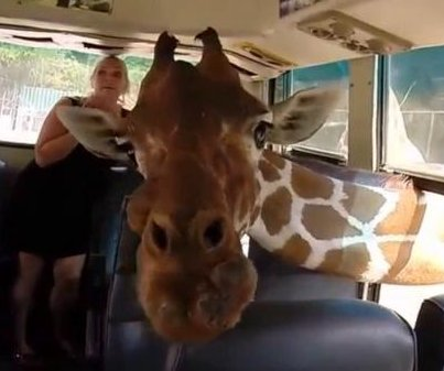 Tourists in bus 'attacked by friendly giraffes' at Thailand zoo
