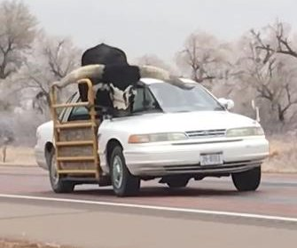 Longhorn steer rides in modified sedan on Nebraska highway