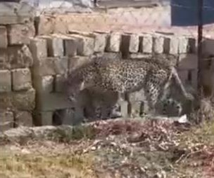 Leopard wanders through town after game preserve escape
