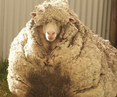 Animal rescuers call shearing champ to tackle sheep's overgrown fleece