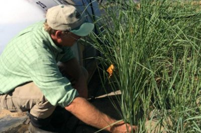 Genetically modified grass used clean soil pollutants at military test sites